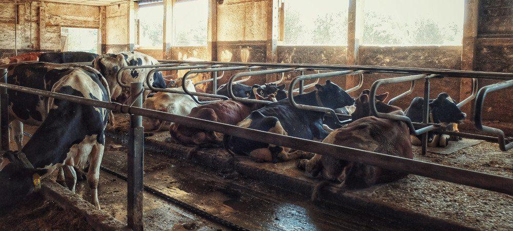 Ściółka dla krów zseparowanej gnojowicy