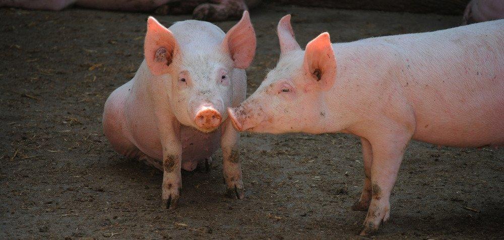 Co robią świnie wlaboratorium? Część II
