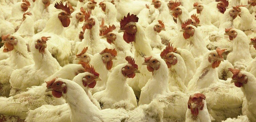 Ptasia grypa 2020 blokuje eksport drobiu. Na jak długo?