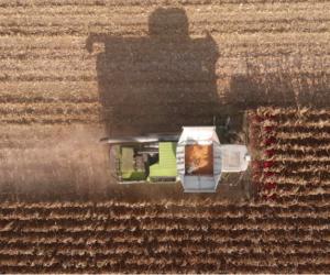 Zbiory kukurydzy na ziarno 2019. Czy susza im zaszkodziła? [WIDEO]