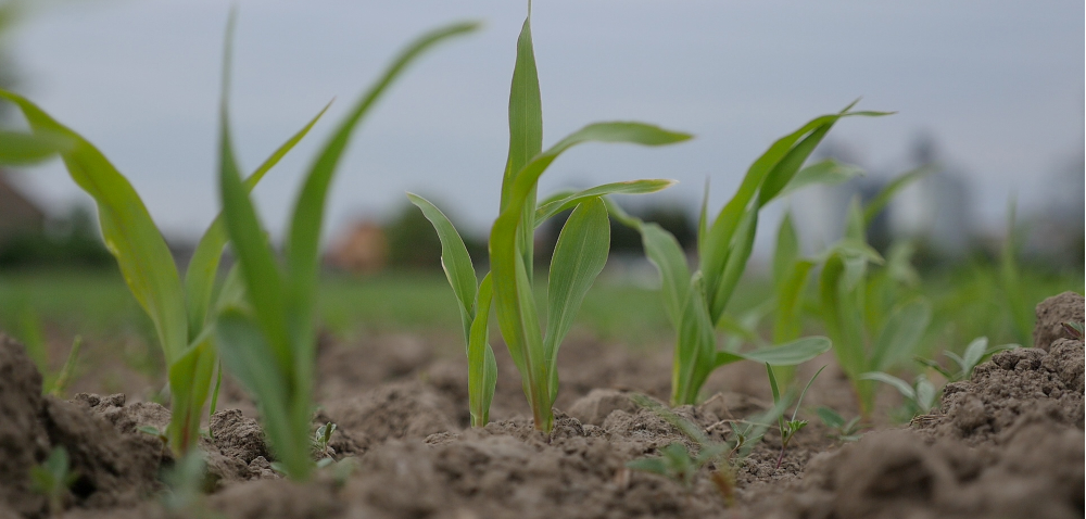 Czy zaprawa do kukurydzy może zwiększyć plon ziarna? [REPORTAŻ]