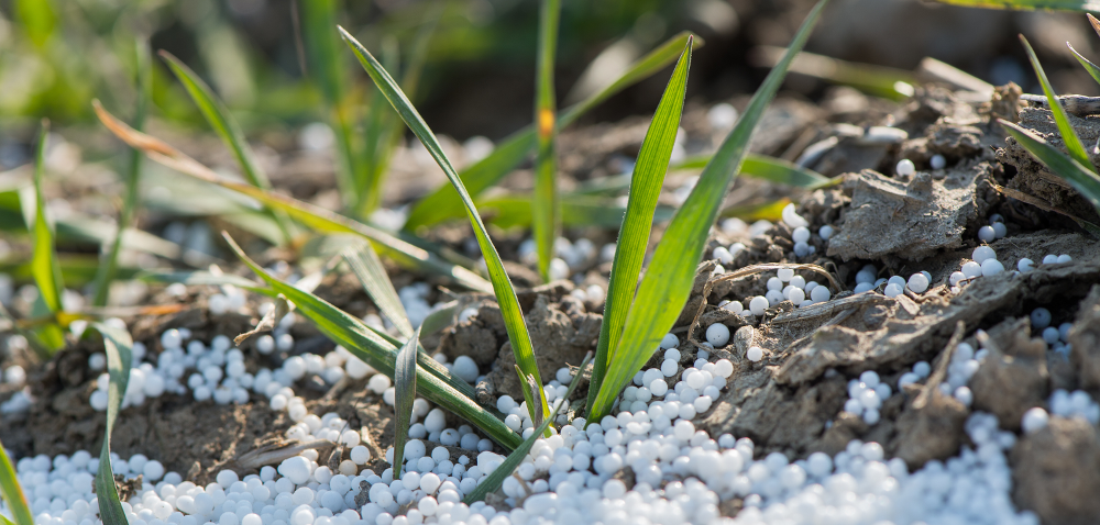 Kiedy nawozić azotem zboża ozime przy niedoborze wody?