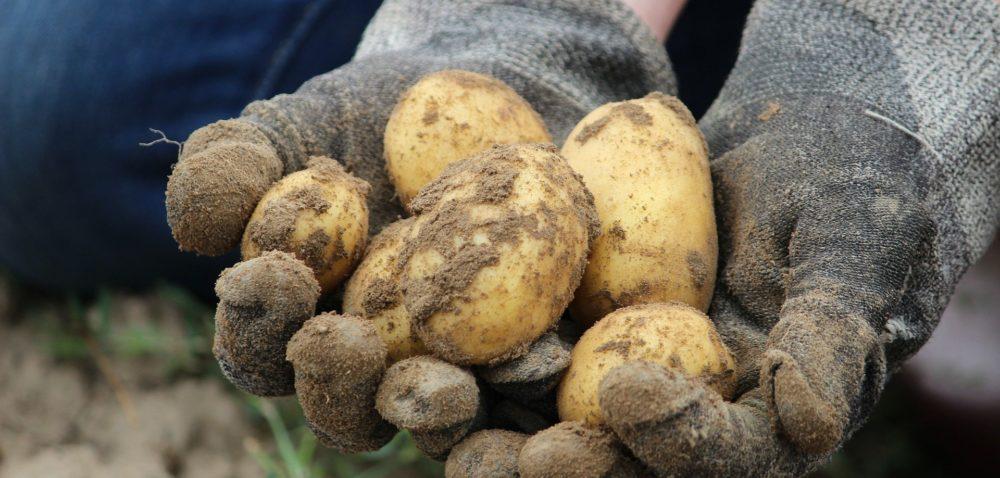 Sadzenie ziemniaków 2020 – jak przygotować bulwy?