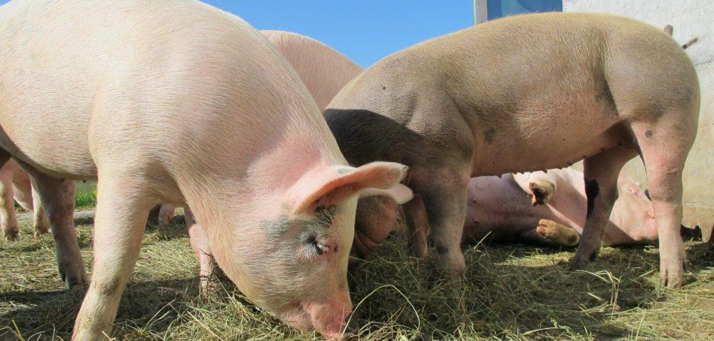 Nabór wniosków dla hodowców świń – PRZEDŁUŻONY!