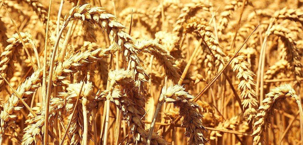 Ceny zbóż 2020. Notowania pszenicy idą na rekord!