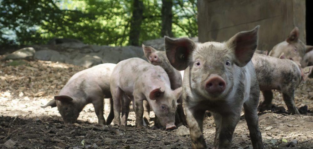 Wsparcie dla producentów wieprzowiny – czy KE znajdzie pieniądze?