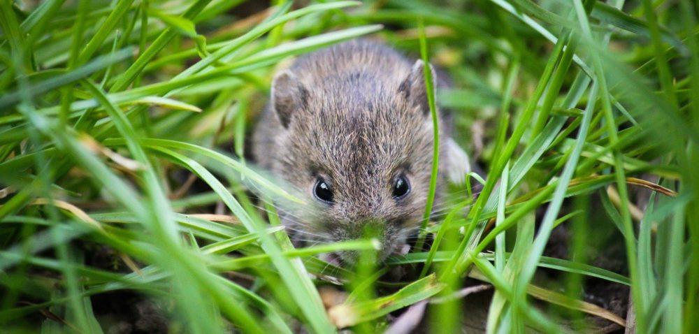 Plaga myszy na polach – jak znią walczyć?