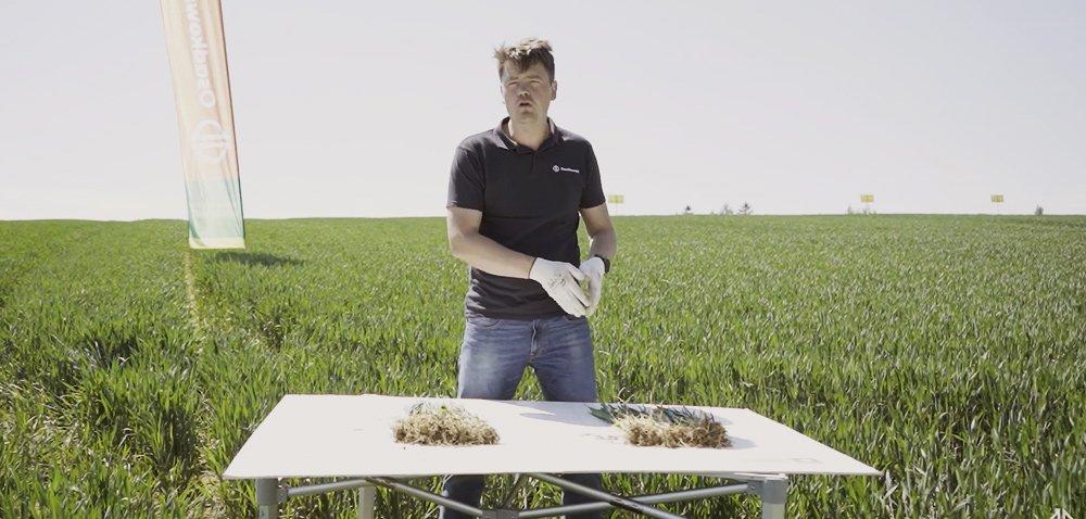 Jak się mają zboża po drugim zabiegu bakteryjnym? Porównanie dwóch technologii prowadzenia zbóż