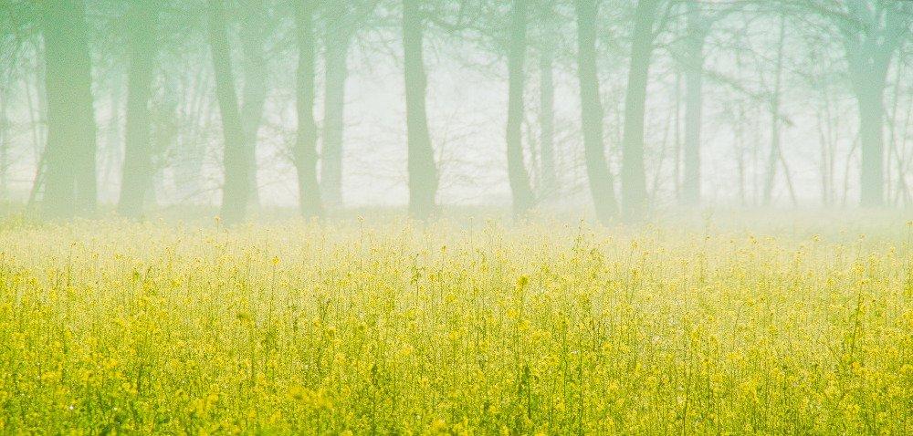 Zimotrwałość rzepaku najważniejszym kryterium wyboru odmiany?