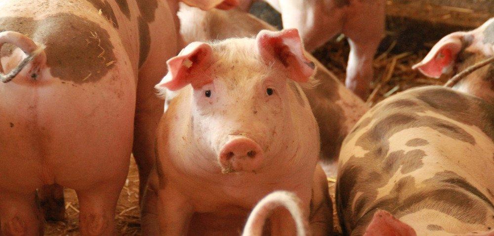 Co powinniśmy wiedzieć okastracji świń