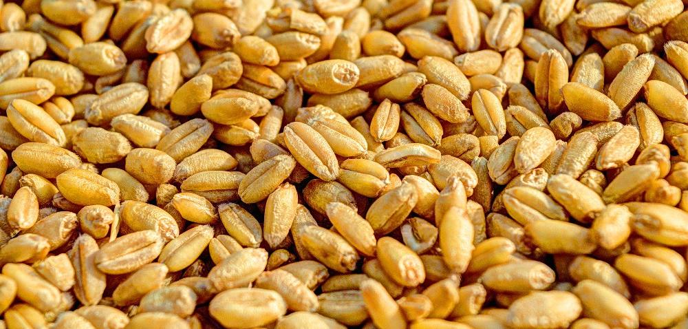 Materiał siewny zbóż – zabezpiecz swoją uprawę iplon!