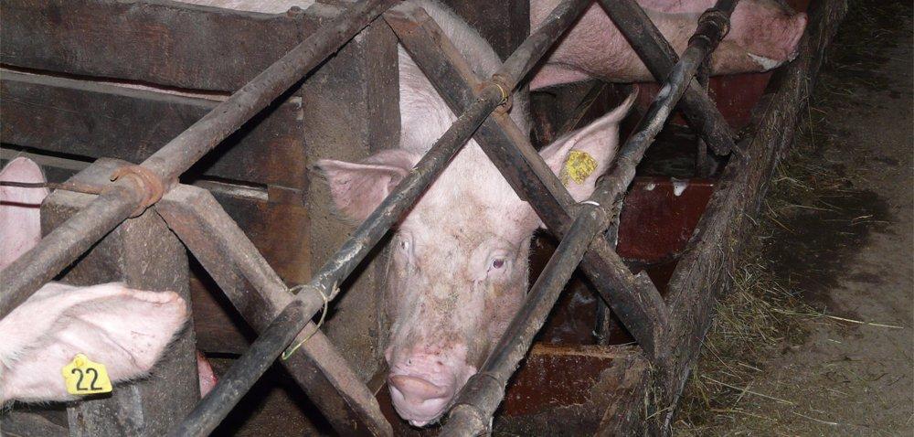 Normy żywienia świń – zalecane dawki pokarmowe