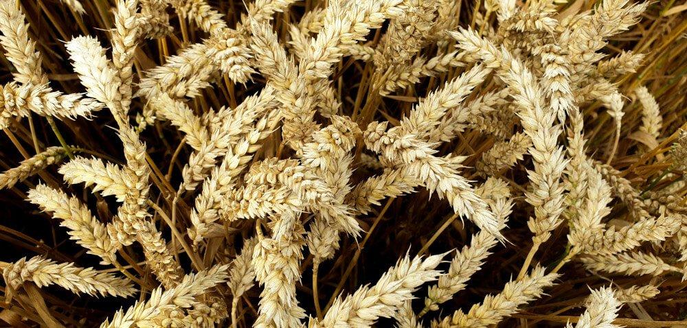 SY Landrich – tegoroczna nowość wśród pszenic ozimych