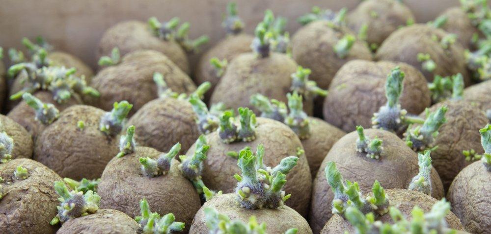 Zapobieganie kiełkowaniu ziemniaków bez chloroprofamu