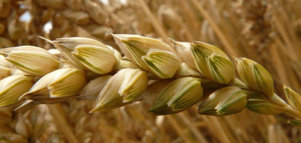 Cena pszenicy 2020 wskupie – wyższa niż 700 zł?