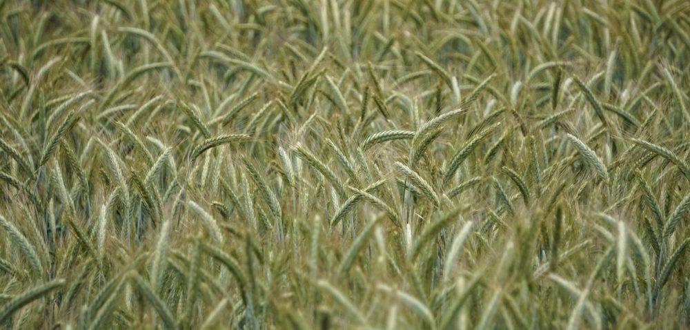 Cena skupu pszenżyta na początku sierpnia
