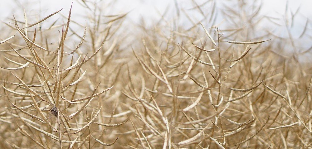 Żniwa 2020. Ile rzepaku zhektara zebrali rolnicy ijakie są ceny?