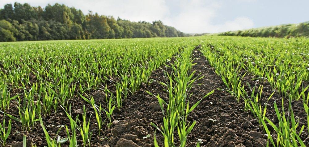 Zaprawa nasienna do zbóż, czyli jak chronić uprawy już od siewu?