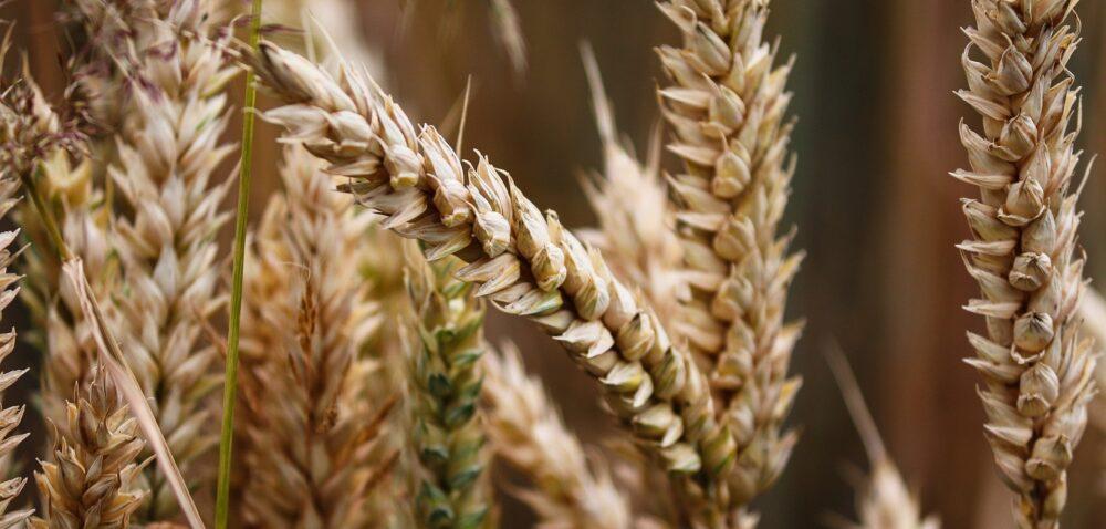 Cena za pszenicę 2020 rośnie na początku września
