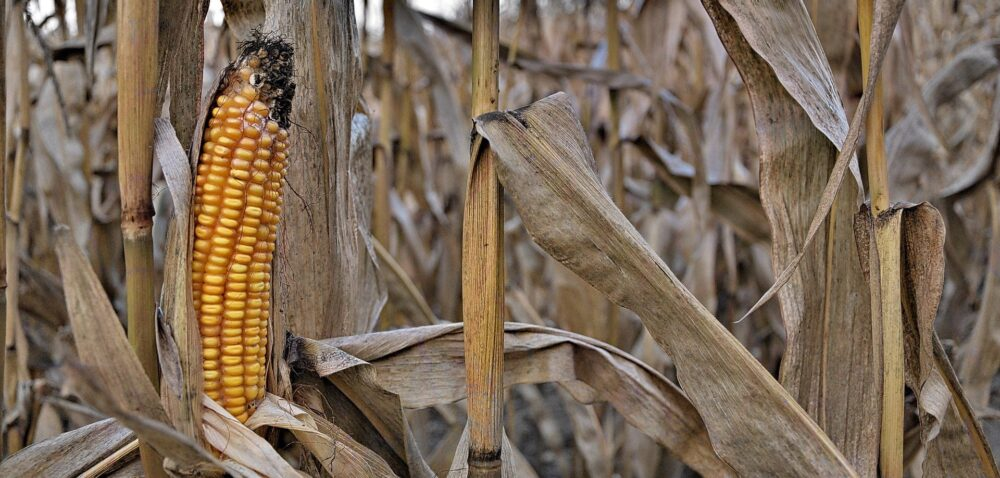 Stosowanie pasz GMO – rolnicy nie chcą wprowadzać zakazu