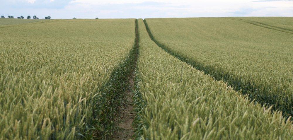Nasiona pszenicy ozimej 2020 – sprawdzone odmiany