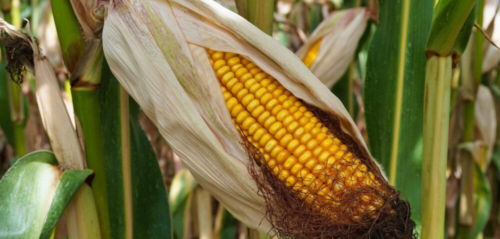 Cena kukurydzy pod koniec października