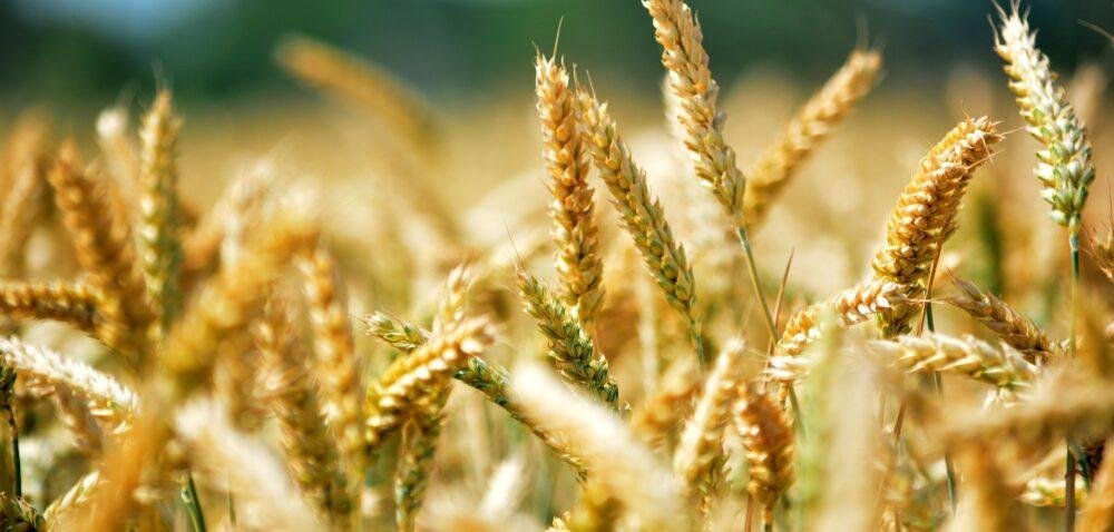 Cena pszenicy wskupie rośnie