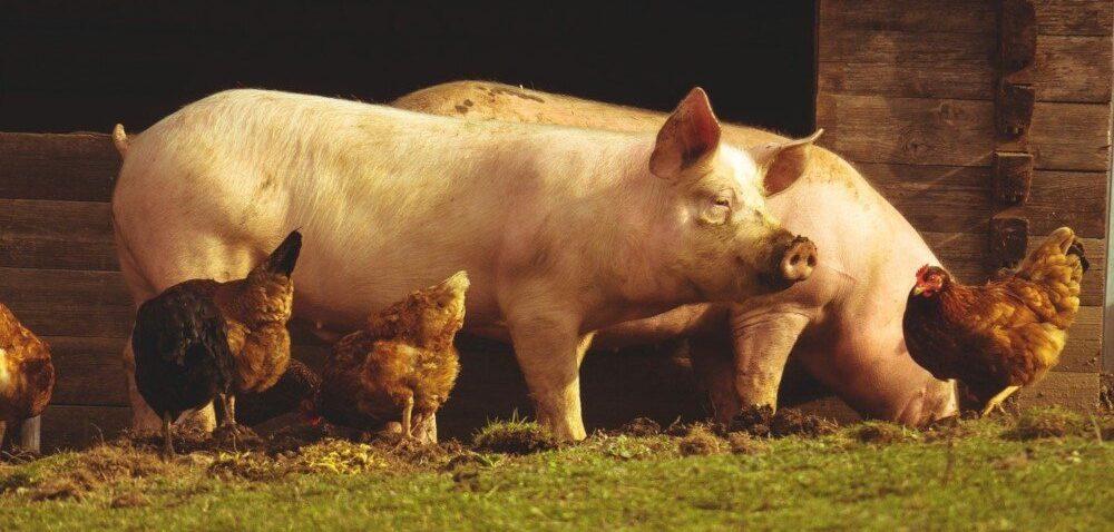 Spadek cen świń idrobiu. Opłacalność produkcji zwierzęcej coraz niższa