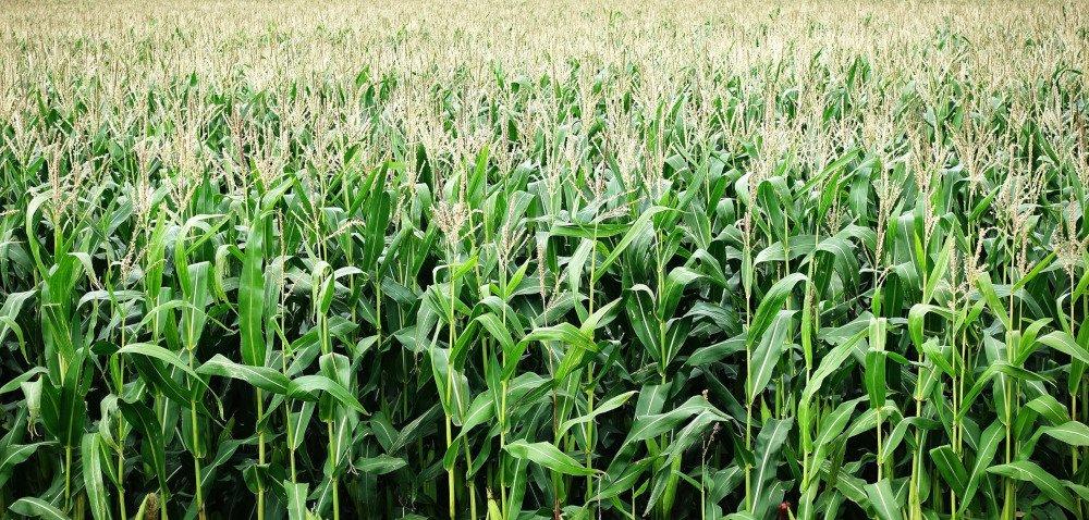 Czy aby na pewno wczesne odmiany kukurydzy gorzej plonują?