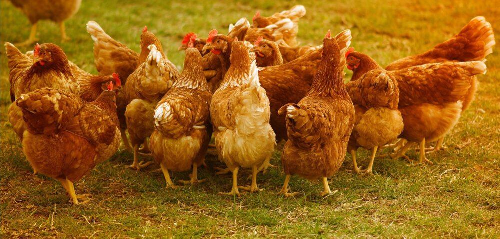 Nowe ogniska grypy ptaków – zarażonych prawie 79 tys. kur iindyków