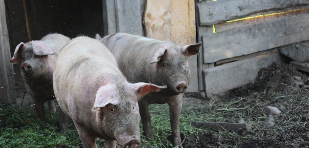 Trudna sytuacja na rynku wieprzowiny omawiana podczas AGRIFISH