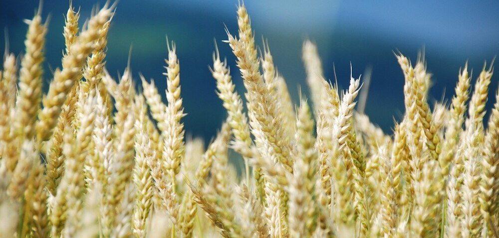 Rekordowe ceny pszenicy. Wzrosty to efekt spekulacji?