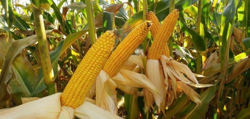 TOP 10 najpopularniejszych odmian kukurydzy