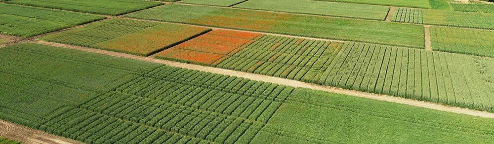 Flame DUO 354 SG – nowy herbicyd zbożowy na straży czystego pola