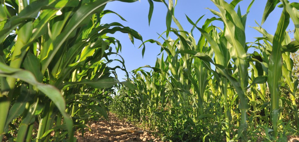Odmiany kukurydzy spod znaku Tropical Dent