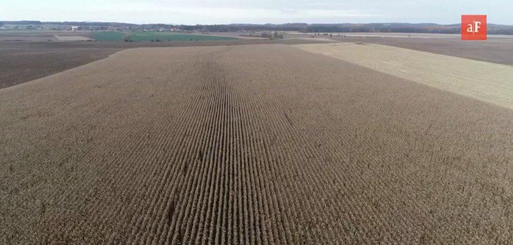 Odmiany kukurydzy na ziarno wsezonie 2021 – co oferuje rynek?