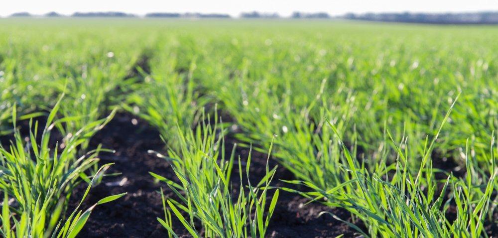 Najważniejszy zabieg na start wiosennej wegetacji zbóż – T1