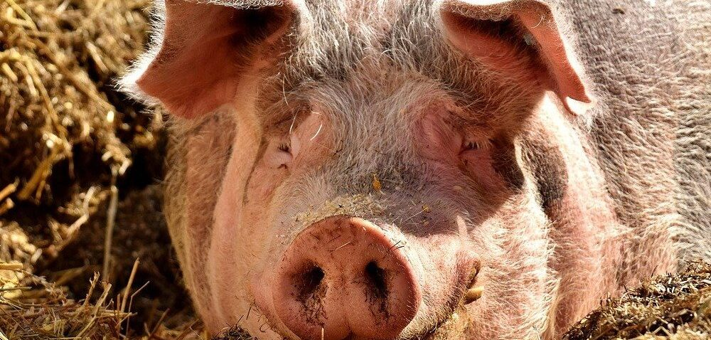 Ceny żywca wieprzowego 2021 wgórę! Są jednak również złe informacje