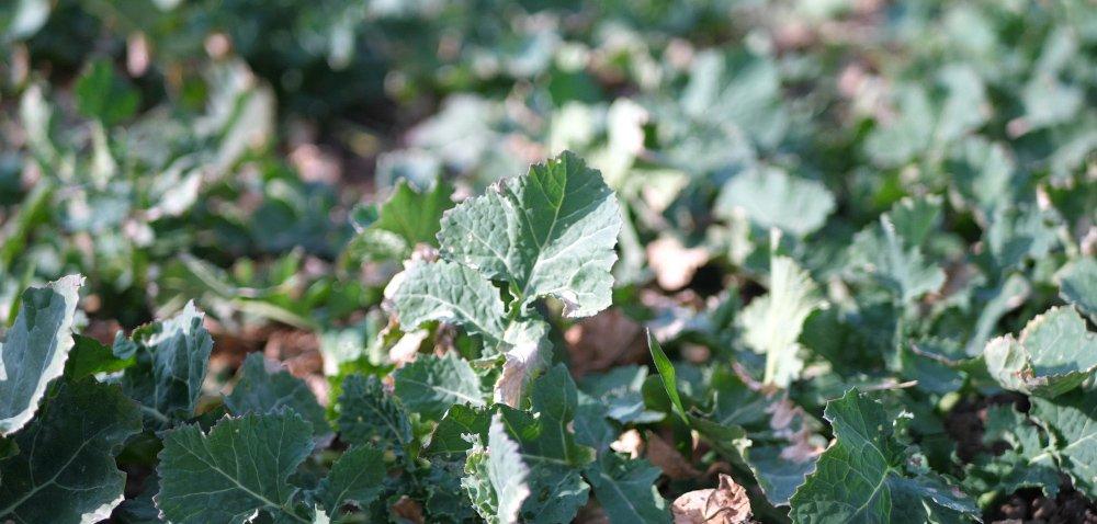 Ochrona fungicydowa iregulacja wzrostu rzepaku. Raport zpola