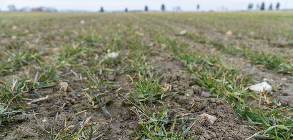 Zabieg T1 fundamentalny dla zbóż