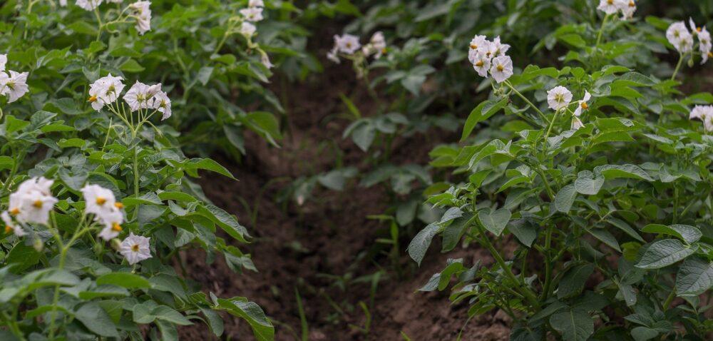 Nowe zagrożenia fitosanitarne dla uprawy ziemniaka inie tylko