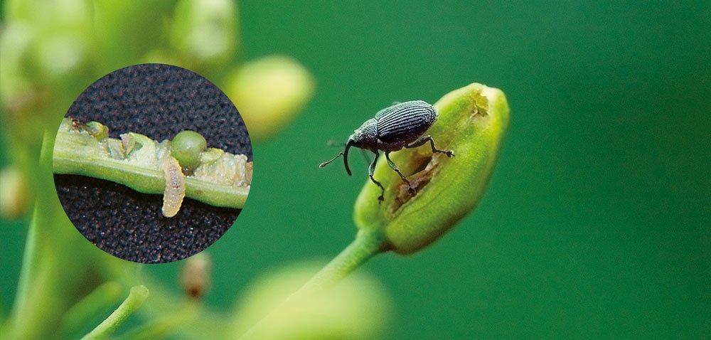 Ochrona upraw przed szkodnikami łuszczynowymi rzepaku [INFOGRAFIKA]