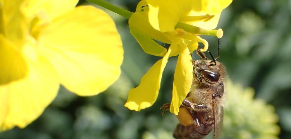 Pszczoły aopryski. Kiedy ijak wykonywać zabiegi?