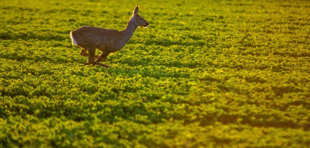 Odszkodowania za szkody łowieckie iprzez bobry – konieczne zmiany