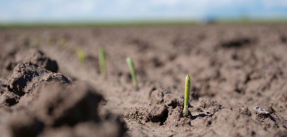 Ochrona herbicydowa kukurydzy. Raport zpola