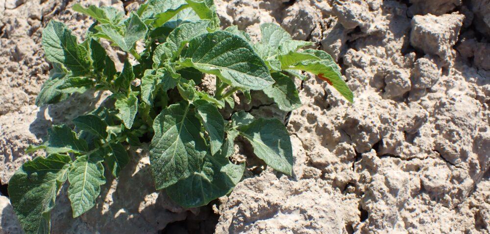 Stonka ziemniaczana już wakcji. Jak uchronić rośliny przed szkodnikiem?