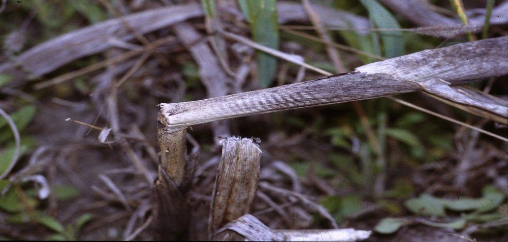 Fuzarioza łodyg kukurydzy – zagrożenie wzrasta. Sprawdź!