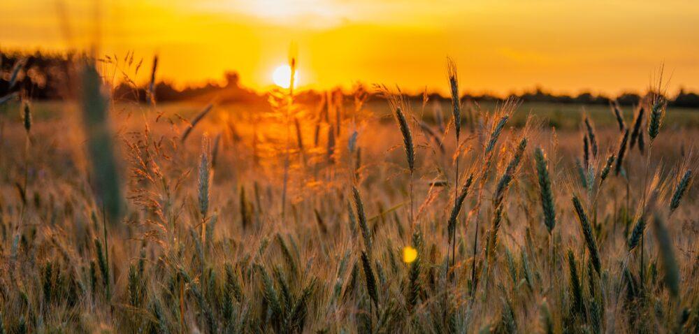 Krajowy rynek zbóż wtrudnej sytuacji. Młynarze apelują do MRiRW
