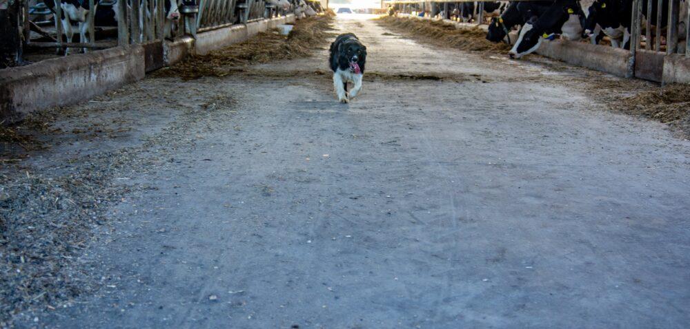 Piątka dla zwierząt powraca – co to oznacza dla rolników? Sprawdź!