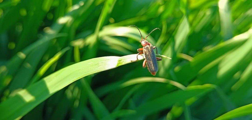 Omomiłek – pożyteczny owad. Jak go nie pomylić ze skrzypionką?